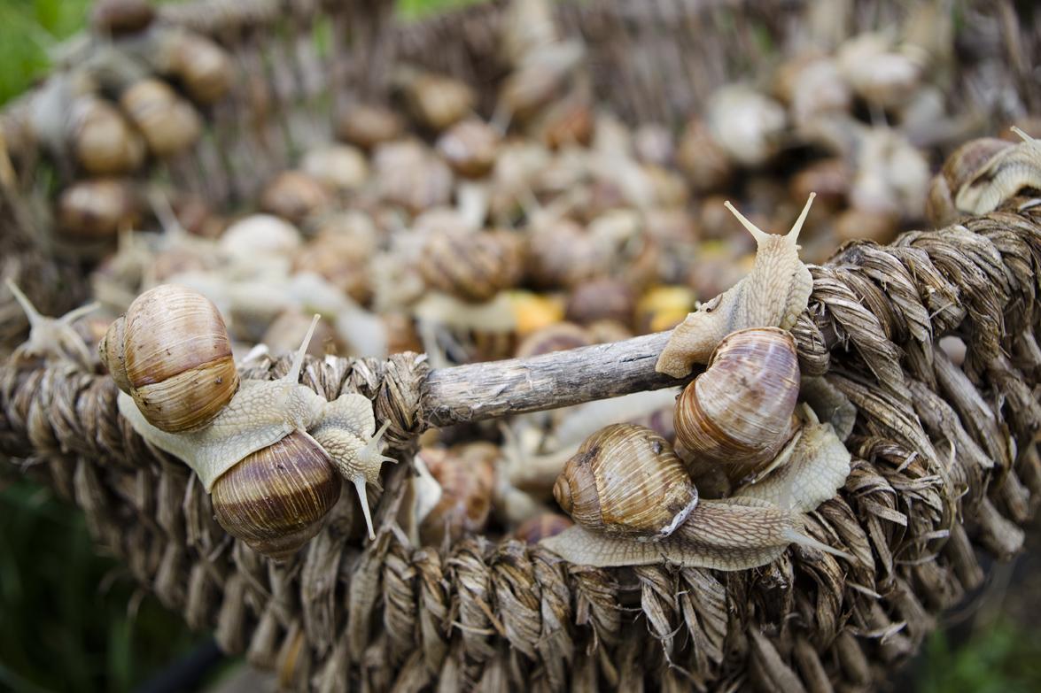 Helix Pomatia, Escargots am Gugumuck-Hof