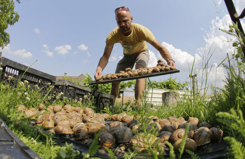 (c) Andreas Gugumuck, bei der Escargots-Pflege, Am Gugumuck-Hof züchten wir zwei Arten Weinbergschnecken: die Helix Pomatia und die Helix Aspersa Maxima. Letztere stammt aus dem südlichen Europa.
