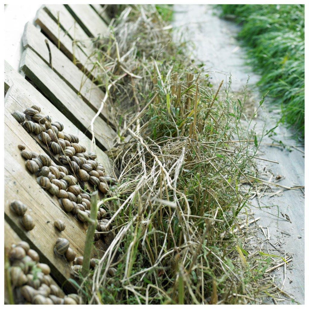 Blick auf die Schnecken-Zuchtanlage Gugumuck, 500g, Kübel, Trockenstarre, kleine Weinbergschnecken, Futterschnecken. Konzepte der urbanen Landwirtschaft können die Umwelt entlasten. Am Gugumuck-Hof nehmen wir mit unserer Weinbergschnecken-Zucht eine Vorreiterrolle ein.