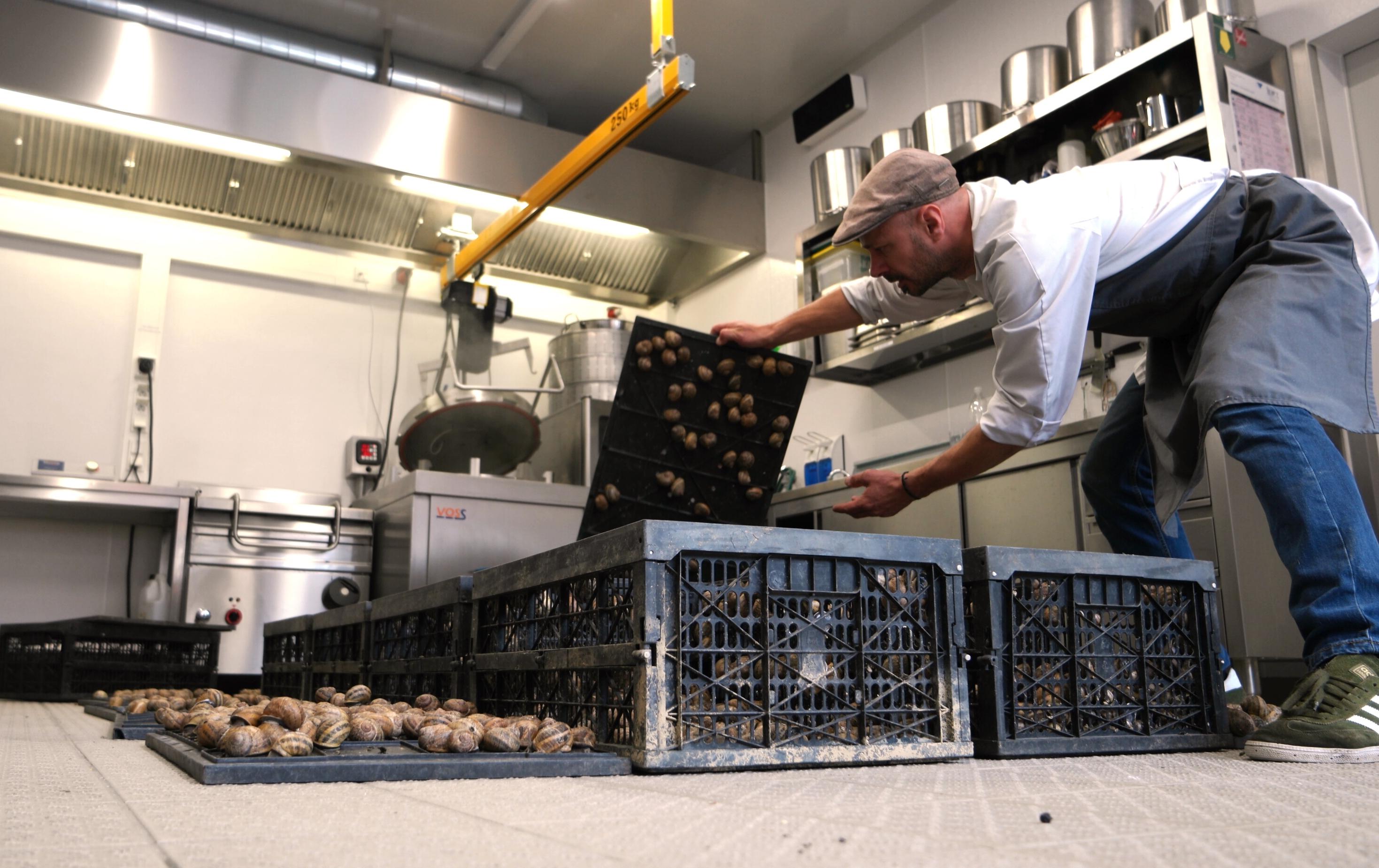 Schnecken in Trockenruhe in der Produktion, Verarbeitung der Escargots, Farm 2 Table. Die unmittelbare Nähe von Landwirtschaft und Manufaktur ist positiv für Qualität und Nachhaltigkeit. Hygienerichtlinien und Auflagen werden alle erfüllt.