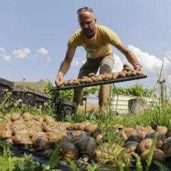 (c) Andreas Gugumuck, bei der Escargots-Pflege, Wir züchten 2 Sorten: die Helix Pomatia und die Helix Aspersa Maxima